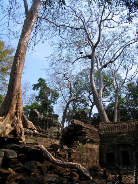 Фикусы в храме Та Пром