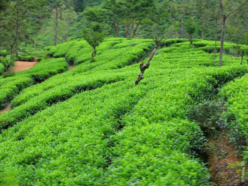 Плантации чая