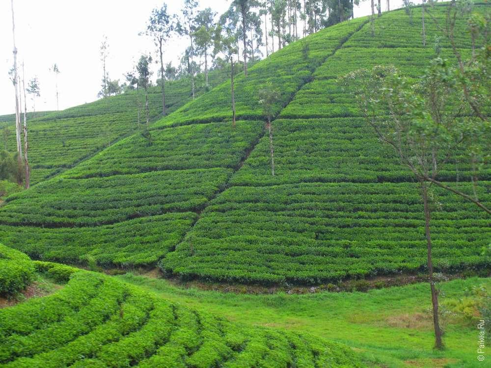 Как растет чай на чайных плантациях