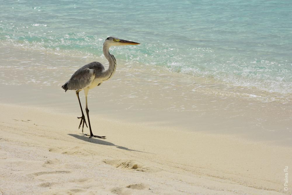 Пляжи Мальдив цапля