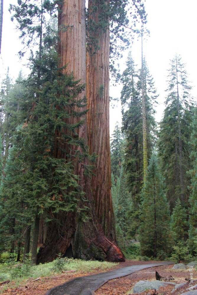 секвойя калифорния