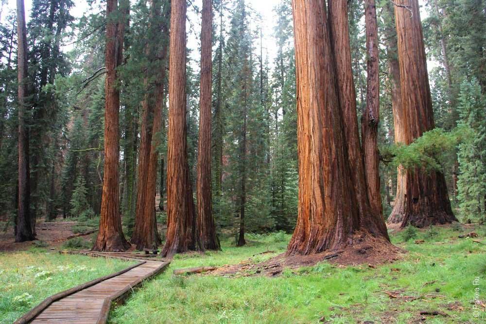 гигантский лес