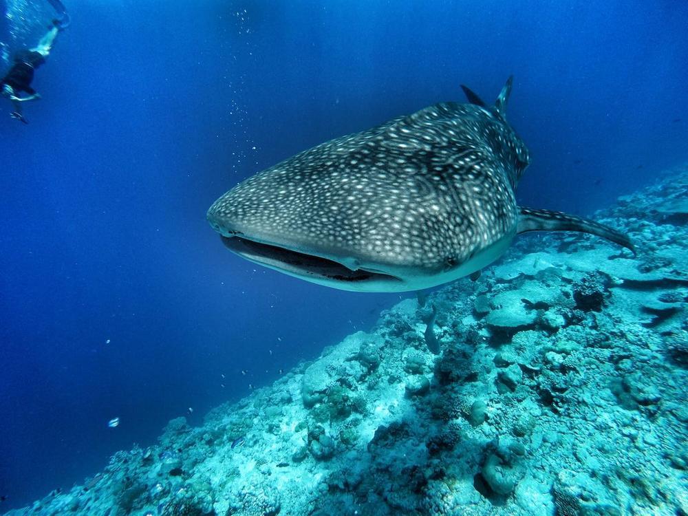 Недорогие острова на Мальдивах китовая акула