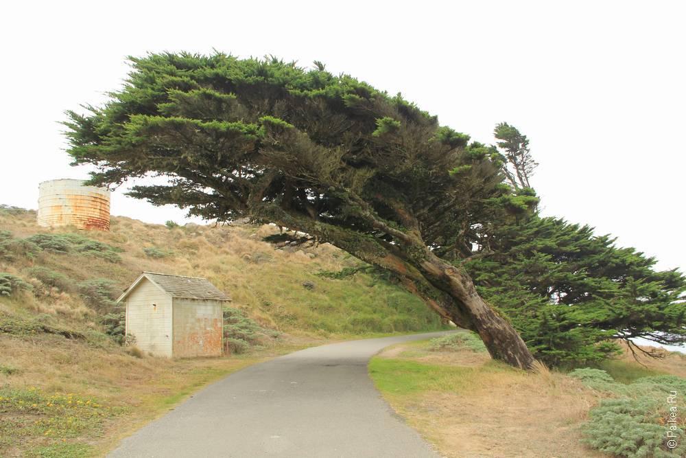 пойнт рейес дерево