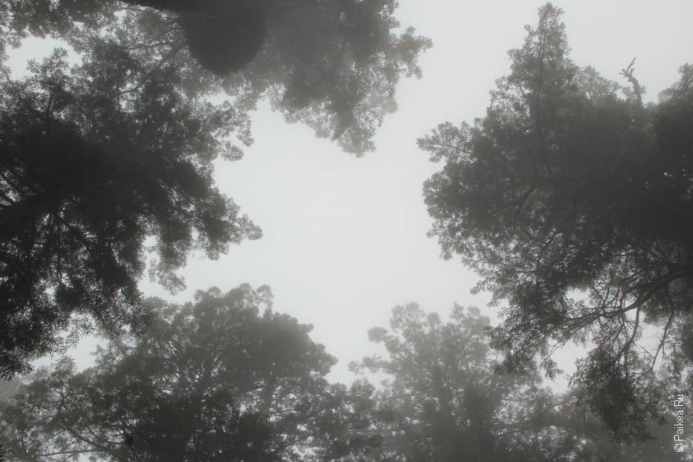 редвуд деревья