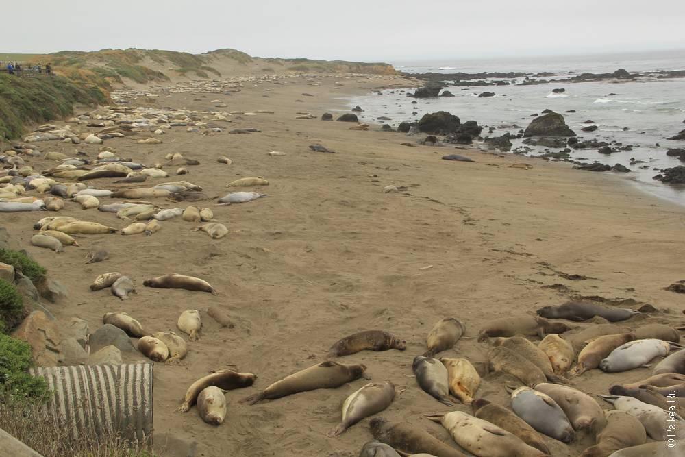 сан симеон тюлени