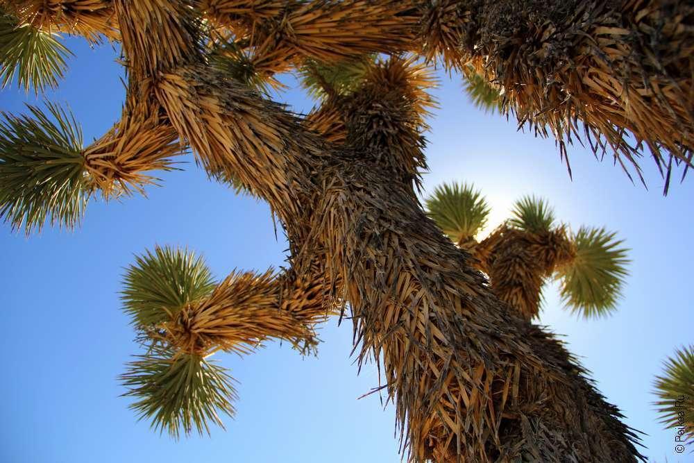 Пустыня Мохаве США - дерево джошуа