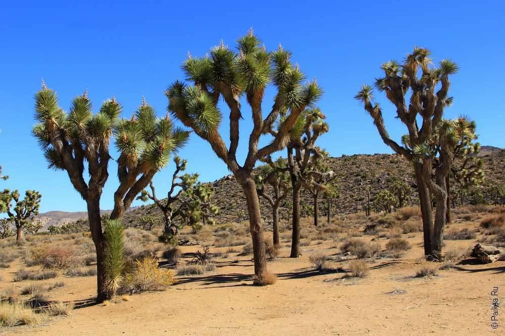 Уникальное дерево Джошуа растет в пустыне Мохаве