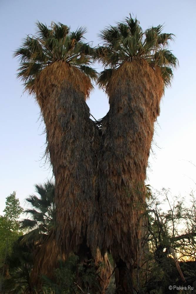 Пальмы в парке Джошуа Три, Калифорния, США