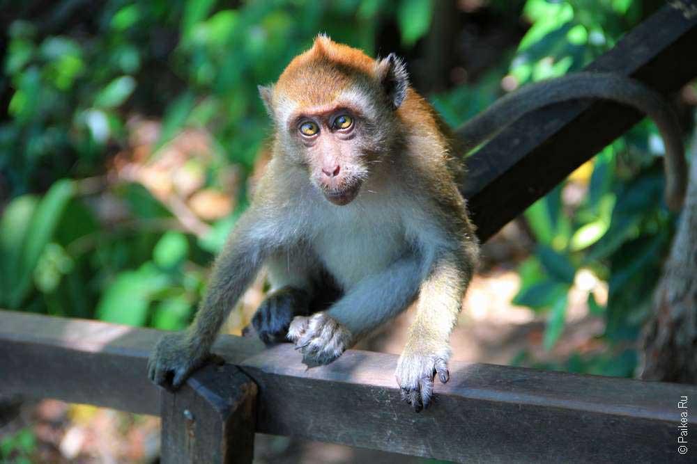 Обезьяна на обезьяньей тропе