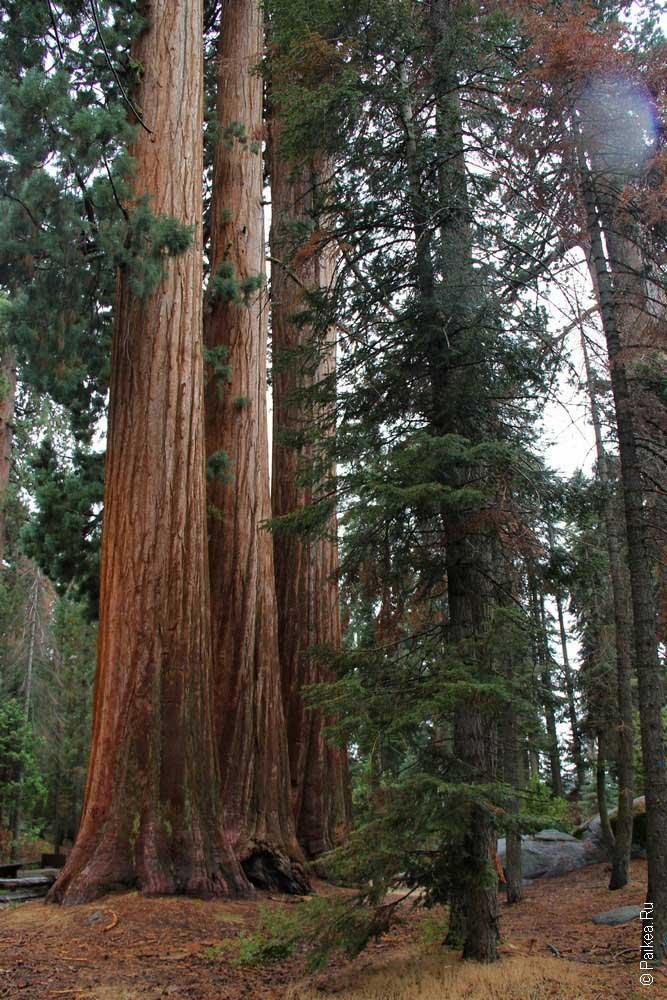 гигантские секвойи в парке секвойя, калифорния, сша