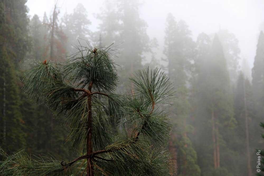 туман в парке секвойя, калифорния, сша