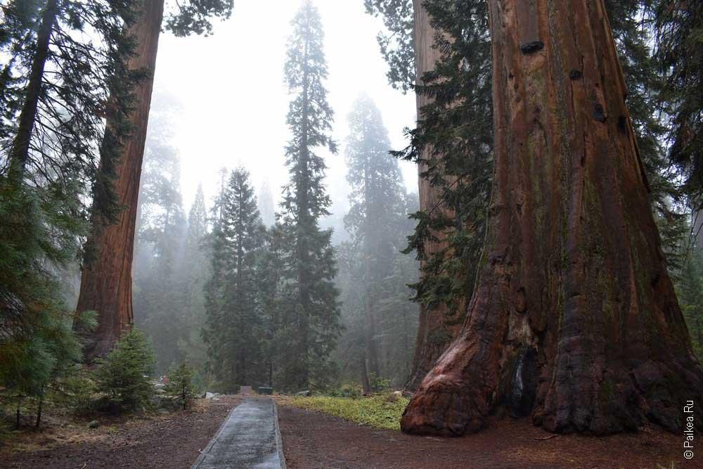 гагантский лес
