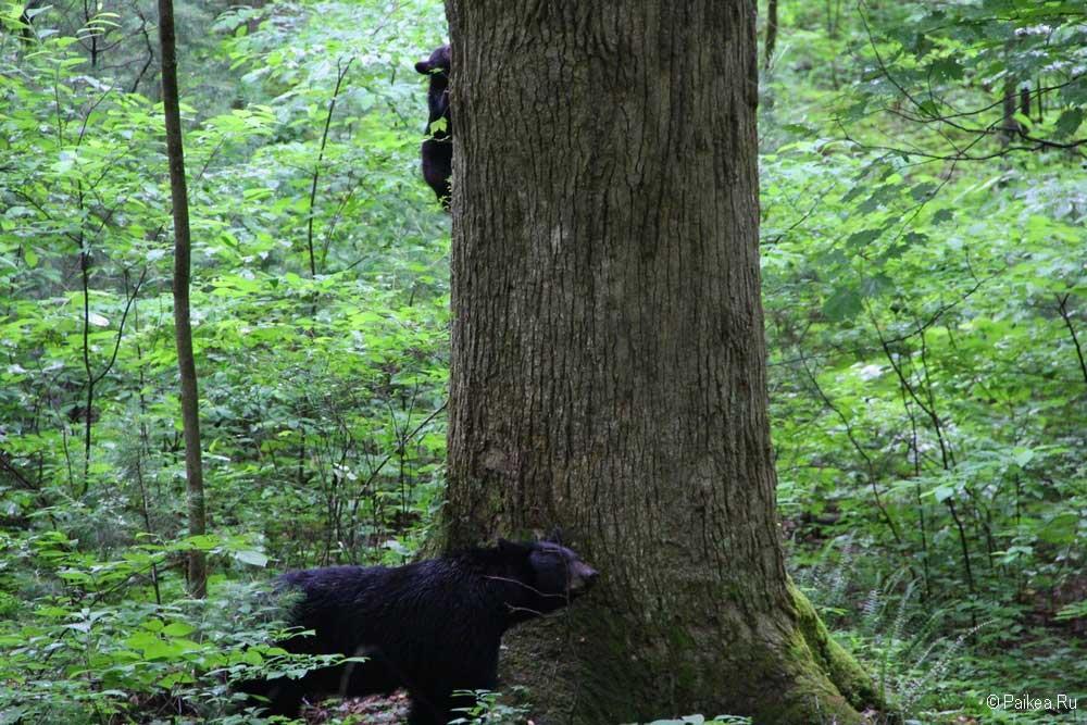 грейт смоки маунтинс медведи