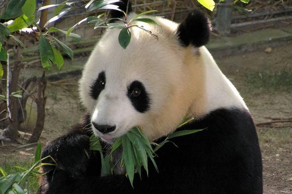зоопарк сан диего панда