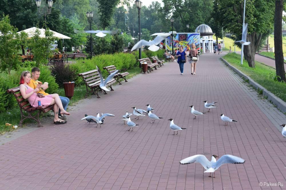 Чайки в Витебске