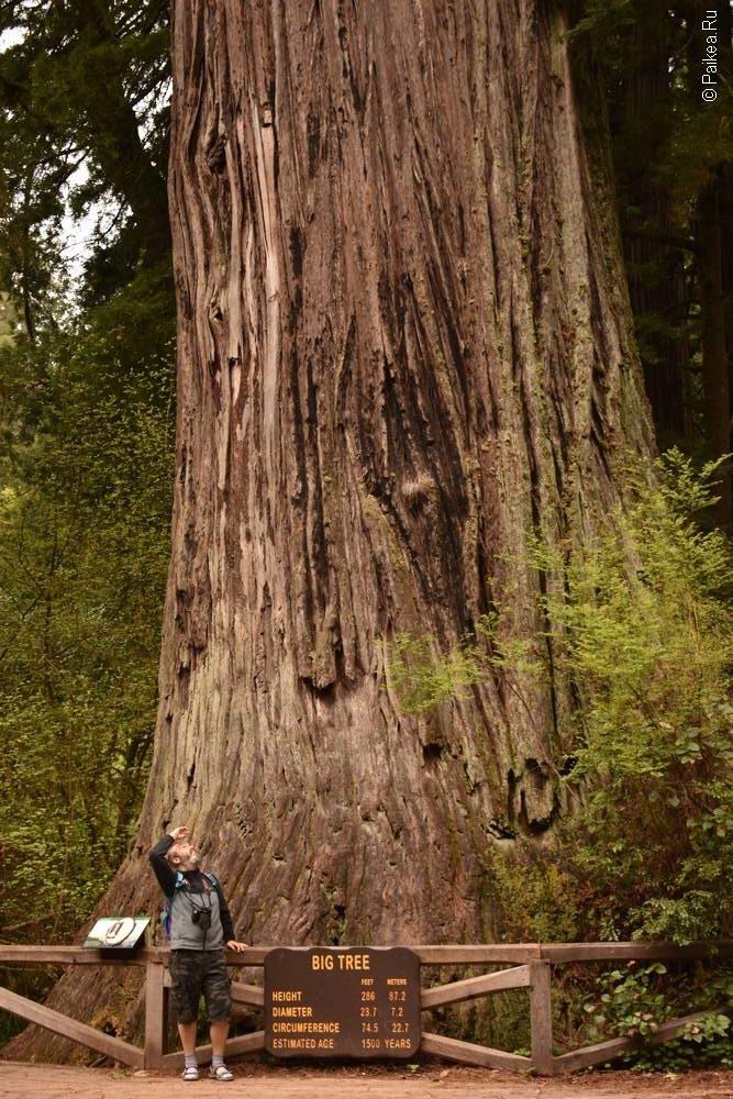 северная калифорния большое дерево