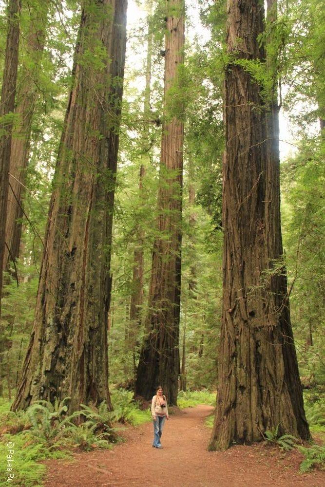 северная калифорния прибрежные секвойи редвуд