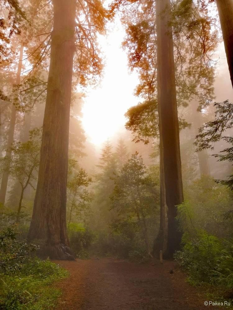 редвуды в северной калифорнии